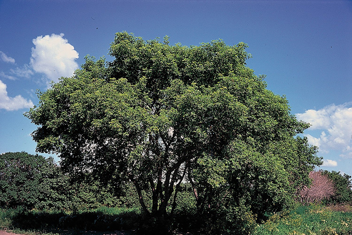 Box Elder Trees in Illinois