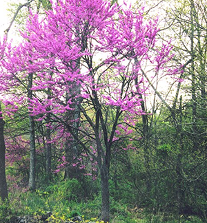 Eastern Redbud in Illiois