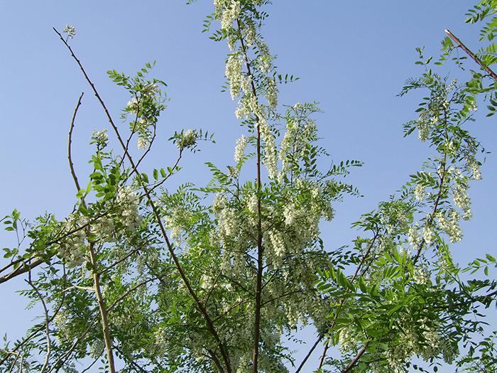 Locust Trees in Illinois