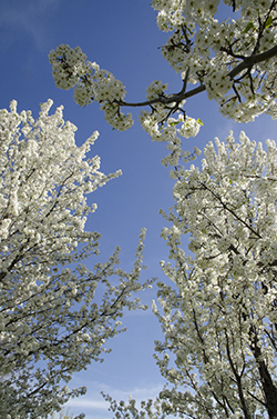 Dogwood Trees Native To Illinois Hendricksen Tree Care Services