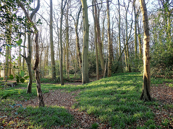 Springtime woodland scene, New Hanging Wood, Little Chalfont, Bu