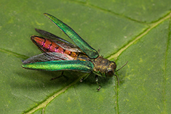 Emerald Ash Borer with Open Wings