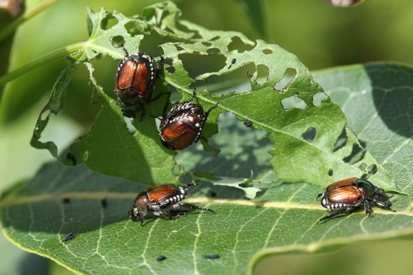 sassafras-tree-japanese-beetle-pest-control-illinois