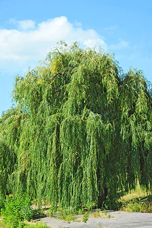 Summer Willow Tree in Arlington Heights, IL