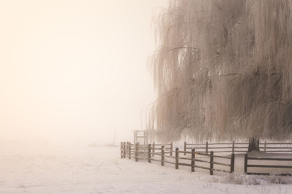 Winter Snow Wheeping in Illinois - Willow Tree