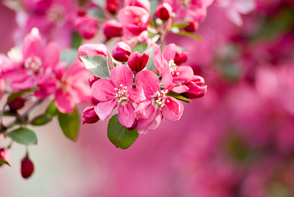 Crabapple Tree Flowers in Chicagoland, Illinois