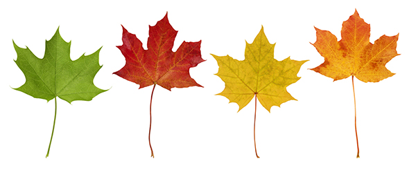 Maple Tree Leaves with different colors in Illinois