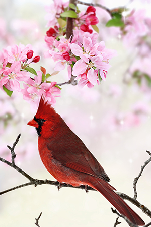 Red Cardinal in Crabapple Tree in Chicago, IL