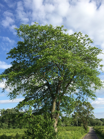 Adult Honey Locust Tree in Arlington Heights, IL