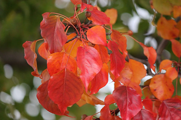 Bright Red Crabapple Tree Leaves - Illinois Fall