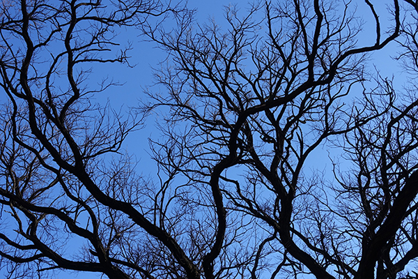 Dark Black Branches of Illinois Locust Tree