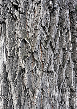 Elm Tree bark in Illinois