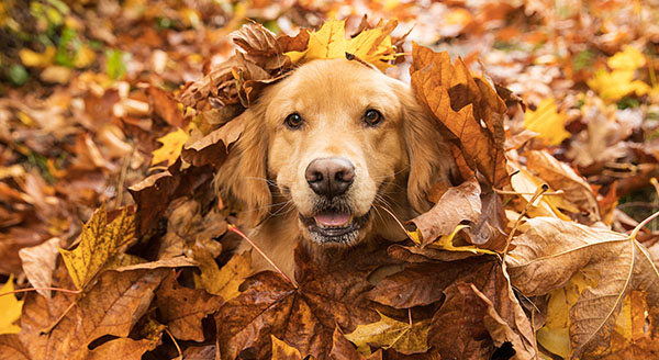 Golden Retriever Dog in a pile of Fall leaves
