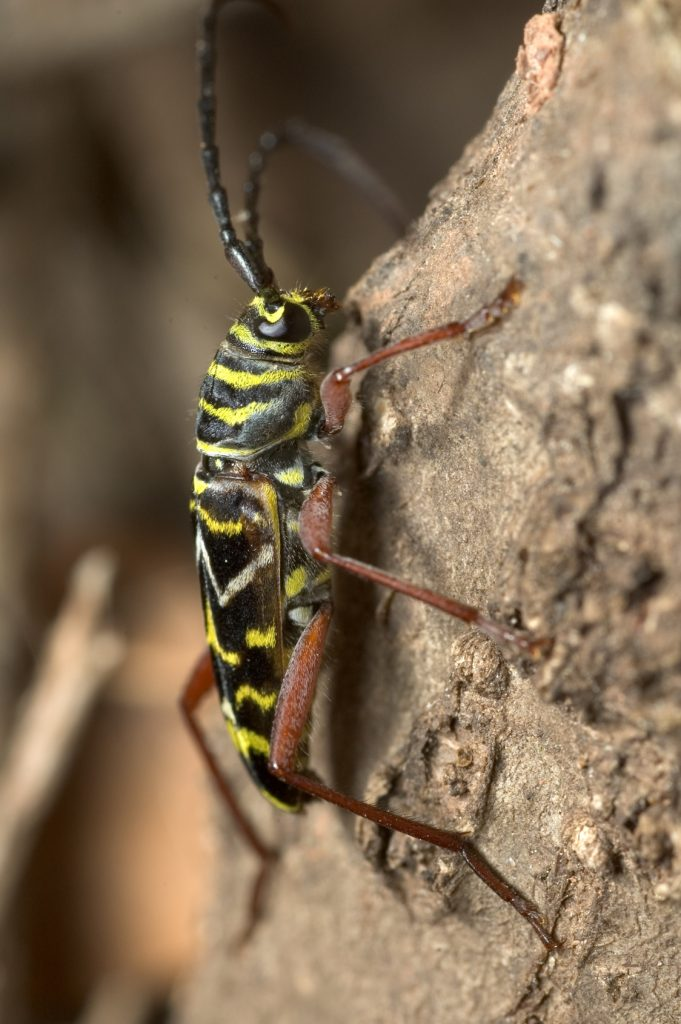 Locust Borer Beetle in Chicago, IL - Tree pest