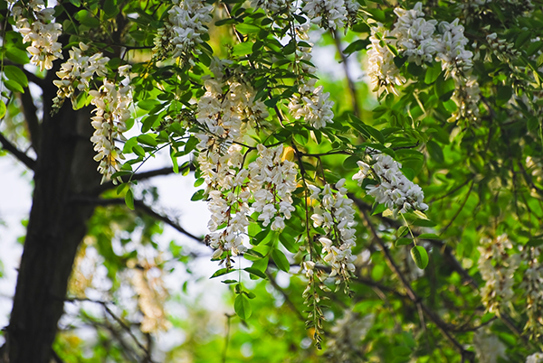 Locust Tree Flowers in Chicagoland IL