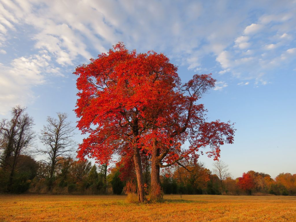 Sassafras Tree - Autumn in Chicago, Illinois