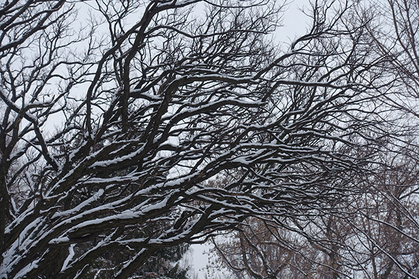 Snow Covered Winter Locust Tree in Chicago, IL
