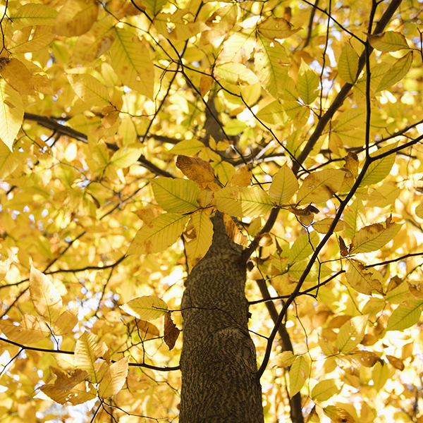 Fall Foliage Beech Tree in Illinois