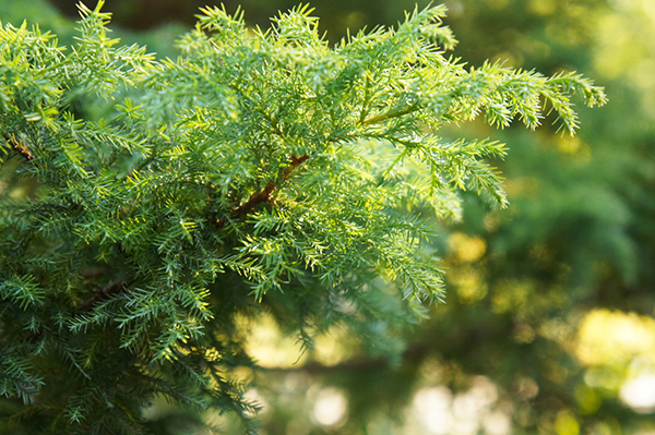 Green leaves needs eastern red cedar in Arlington Heights, IL
