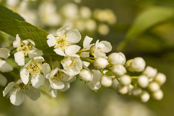 White Flowers Prunus Serotina - Cherry Tree in Illinois