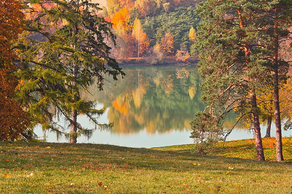 Autumn Pine Trees by Lake