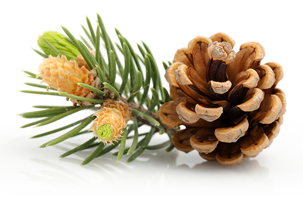 Chicagoland Pine Cone