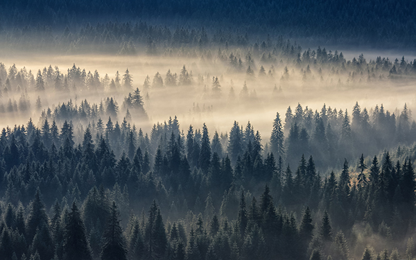 Fog Covered Pine Tree Forest