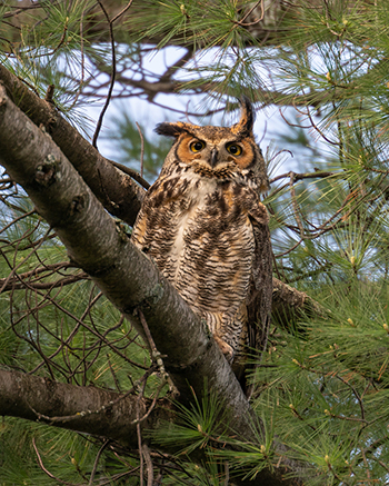 Great Horned Owl in Pine Tree - Illinois