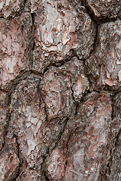 pine-tree-bark-arlington-heights-il