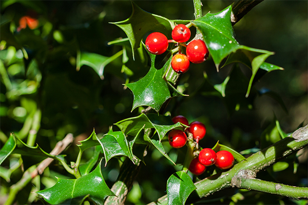 closeup holly tree branch
