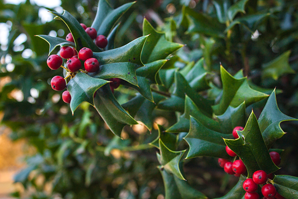 commercial holly tree chicagoland il