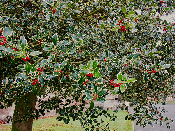 holly-tree-chicago-il