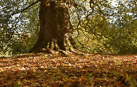 ancient-large-sycamore-tree