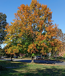 autumn-colored-sycamore-tree-arlington-heights-il