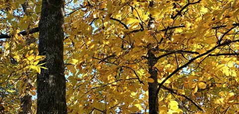 Hickory & Pecan Trees of the Chicago, Illinois Area