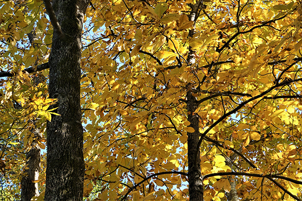 Colorful Hickory tree (Carya tomentosa) with bright yellow leave