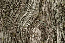hickory-tree-bark-chicago-il