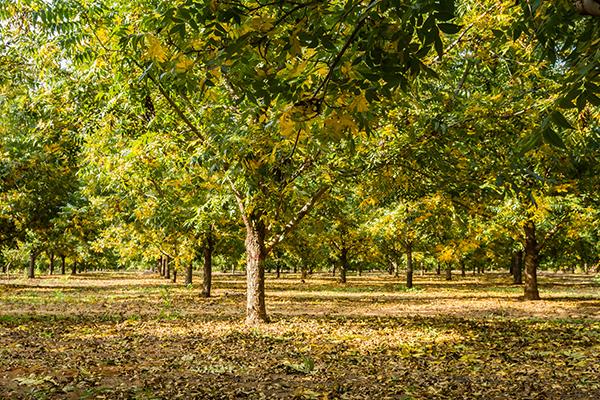 pecan-tree-orchard