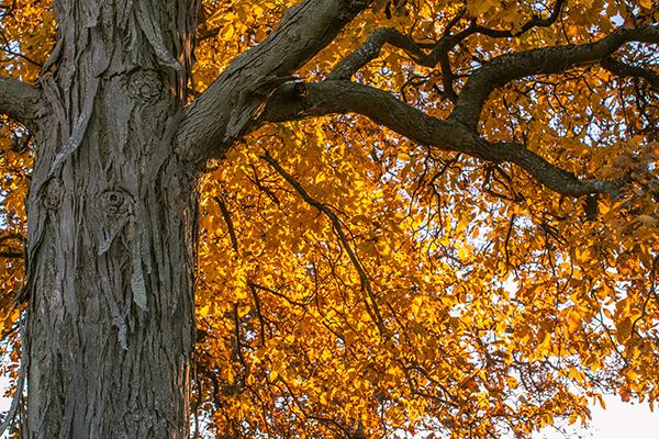 shagbark-hickory-tree-chicagoland-illinois