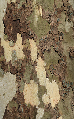 Flaky tree bark of a Sycamore tree