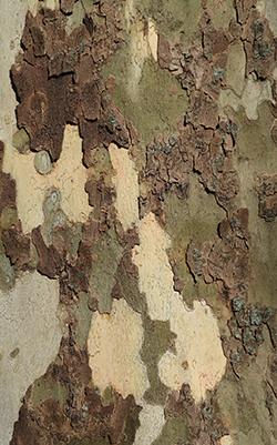 Flaky tree bark of a Sycamore tree