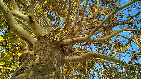 Sycamore trees are long-lived, giant-sized shade trees that grow well throughout Illinois when properly cared for