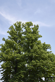 basswood-linden-tree-canopy-arlington-heights-il
