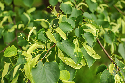 basswood-tree-leaves-chicagoland-il