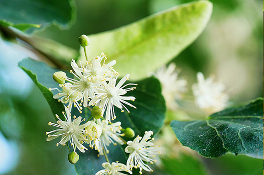 flowers-basswood-linden-tree-illinois