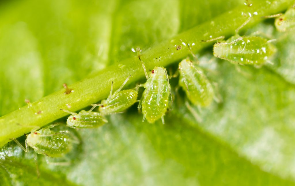 aphids-insects-pests-eating-tree-leaf-illinois