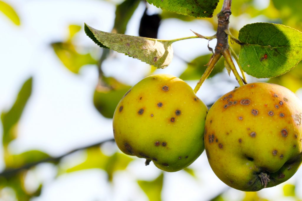 apple-tree-scab-disease-illinois
