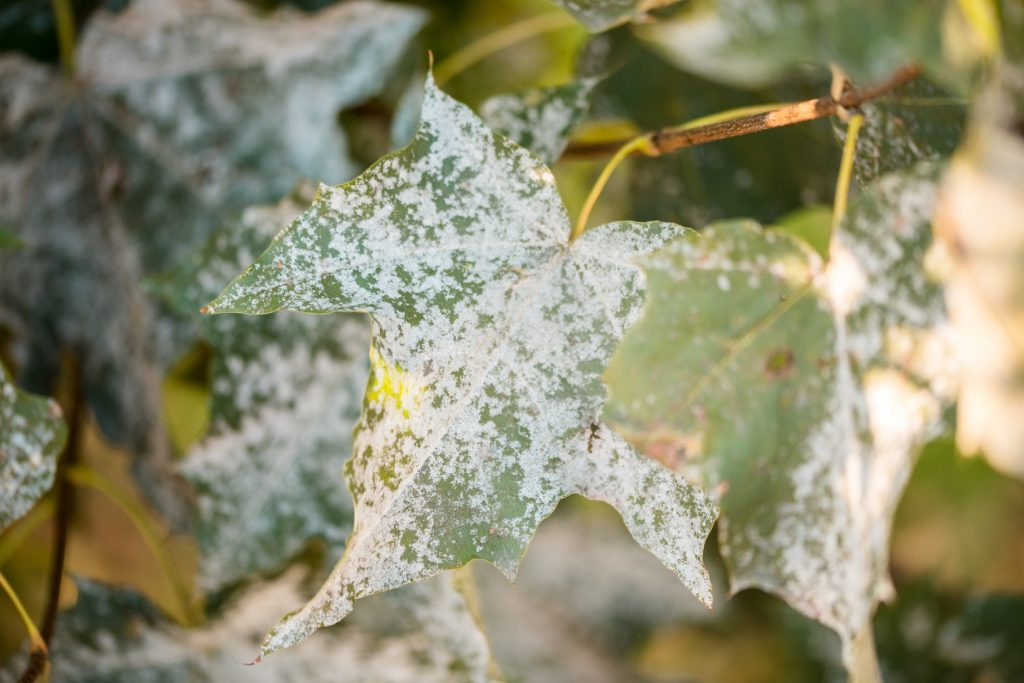 powdery-mildew-disease-tree-leaf