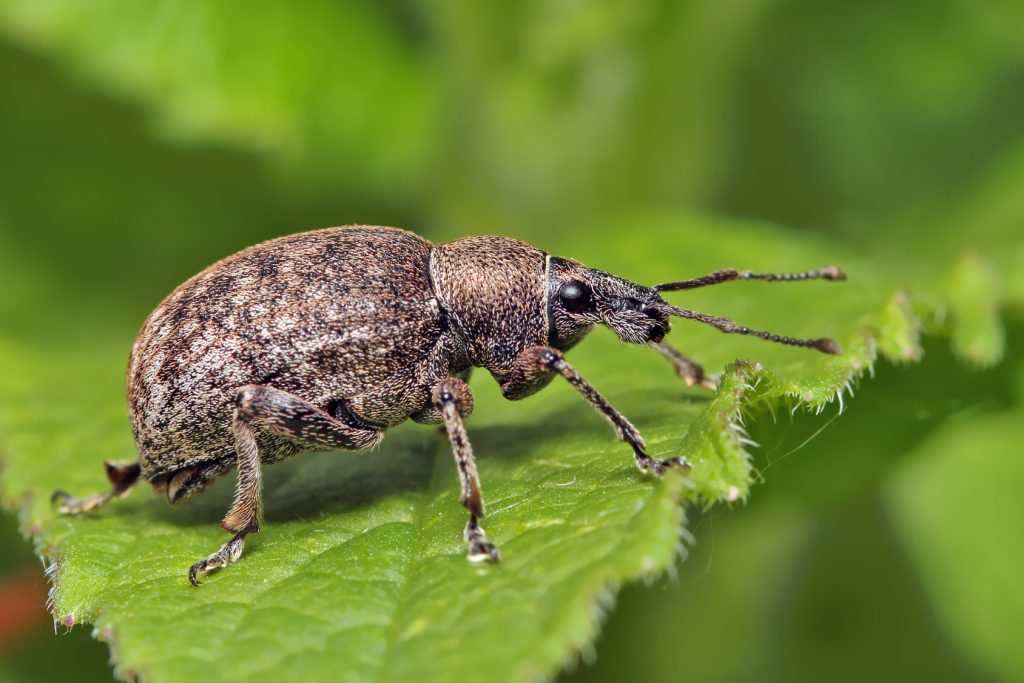 weevil-insect-tree-pest-illinois