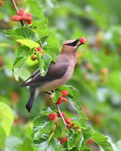 bird-eating-mulberry